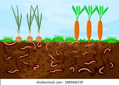 Ground cutaway with earthworms and vegetable. Earthworms in garden soil. Air and water passage in the soil created by earthworms. Plant vegetable fresh in compost food layer of soil with worm. Vector