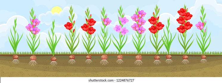 Group of blooming gladiolus plant with flowers of different colors on flowerbed. Plants showing root structure below ground level