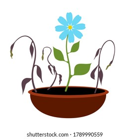 Growing blooming blue flower and dead fading plants in pot. Flat design. Vector illustration.