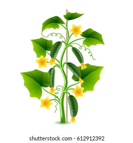 Growing cucumber plant isolated photo-realistic vector illustration