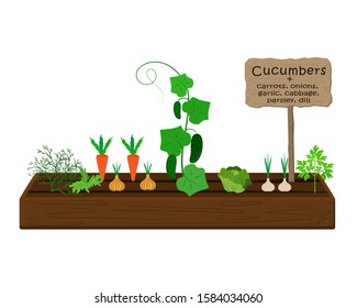 Growing vegetables and plants on one bed in the garden. Cucumbers, dill, parsley, carrots, cabbage, onions, garlic
