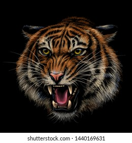 Growling Tiger. Color, hand-drawn portrait of a growling tiger on a black background.