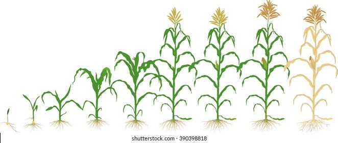 growth corn plant
