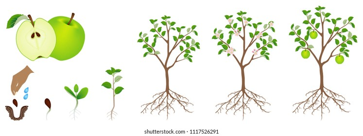 A growth cycle of an apple plant is isolated on a white background.