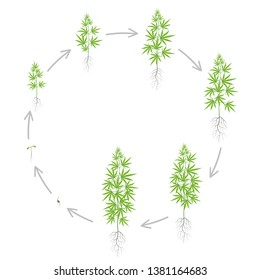 The Growth Cycle of hemp plant. Marijuana round phases set. Cannabis sativa ripening period. The life stages. Weed Growing. Isolated vector illustration on white background.