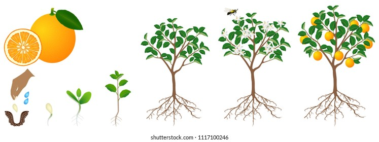 The growth cycle of an orange plant is isolated on a white background.