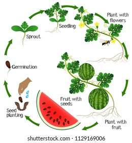 A growth cycle of a watermelon plant on a white background.