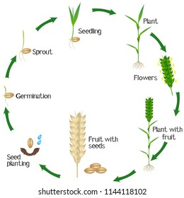 A growth cycle of a wheat plant is isolated on a white background.