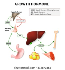 Growth hormone or somatotropin secreted by the pituitary gland. Growth hormone-releasing hormone stimulates anterior pituitary gland to release GH. The target of Growth hormone: liver, bone and muscle