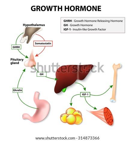 Growth Hormone Somatotropin Secreted By Pituitary Stock-Vektorgrafik ...