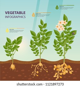 Growth rate or stages of potato. Praties infographic or murphy poster. Agriculture and botany, biology and harvest poster. Vegetarian nutrition or organic food growth process. Plant theme