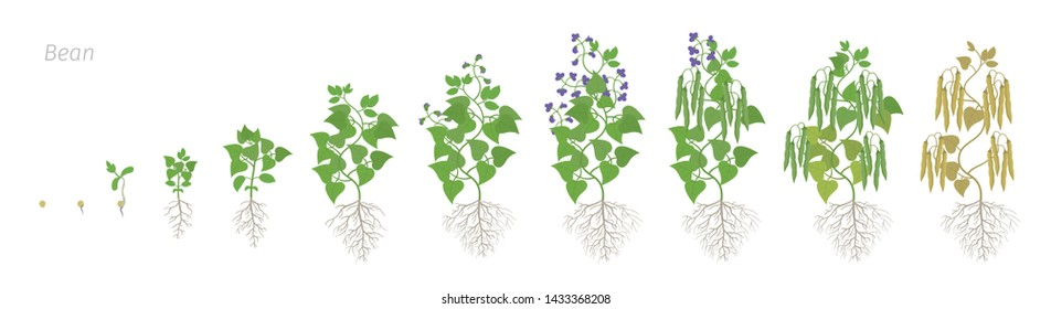 Growth stages of bean plant with roots. Bean family Fabaceae phases set ripening period. Life cycle, animation progression.