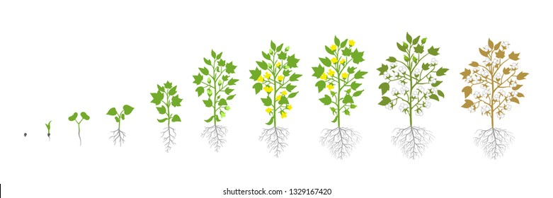 Growth stages of Cotton plant. Plant increase phases. Vector illustration. Gossypium from which cotton is harvested. Ripening period. The life cycle. Use fertilizers. On white background.
