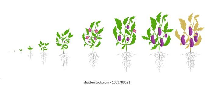 Growth stages of eggplant plant. Vector illustration. Solanum melongena. Aubergine, brinjal life cycle. Botanically infographic.