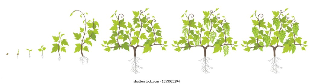 Growth stages of grape plant. Vineyard planting increase phases. Vector illustration. Vitis vinifera harvested. Ripening period. The life cycle. Grapes on white background.