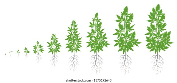 Growth stages of hemp plant. Marijuana phases set. Cannabis indica ripening period. The life cycle. Weed Growing. Isolated vector illustration on white background.