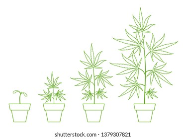 Growth stages of hemp potted plant. Marijuana phases set. Cannabis indica ripening. Infographic period. The life cycle. Weed Growing in a pot at home. Outline contour vector illustration.