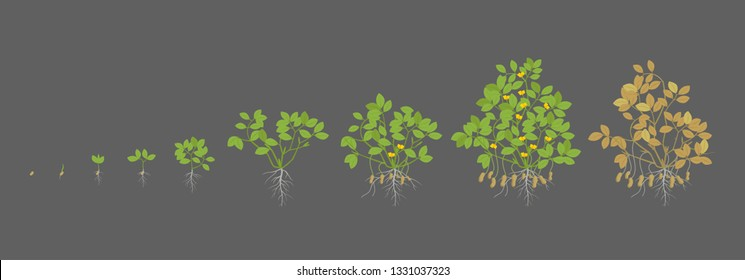 Growth stages of peanut plant. Peanut increase phases. Vector illustration on a dark background. Arachis hypogaea. Also known as the groundnut, goober or monkey nut. The life cycle.