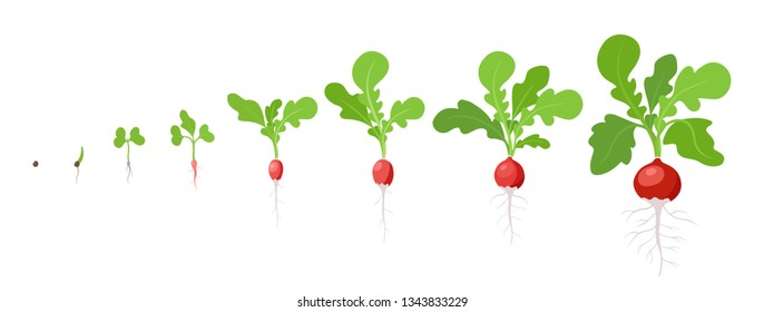 Growth stages of Radish plant. Vector flat illustration. Raphanus raphanistrum. Radishes taproot grown life cycle.
