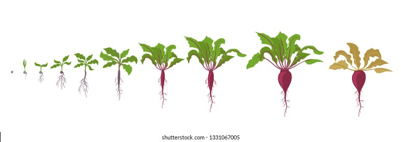 Growth stages of red beetroot plant. Vector illustration. Beta vulgaris. Taproot life cycle. On white background.