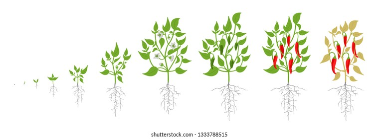 Growth stages of red chili pepper plant. Vector illustration. Capsicum annuum. Cayenne pepper life cycle. On white background.