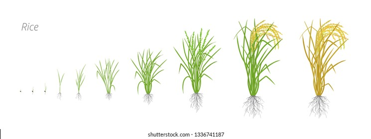 Growth stages of rice plant. The life cycle. Rice increase phases. Oryza sativa. Ripening period. Vector illustration.