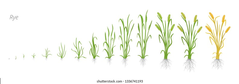 Growth stages of Rye plant. Cereal increase phases. Vector illustration. Secale cereale. Ripening period. Rye grain life cycle.