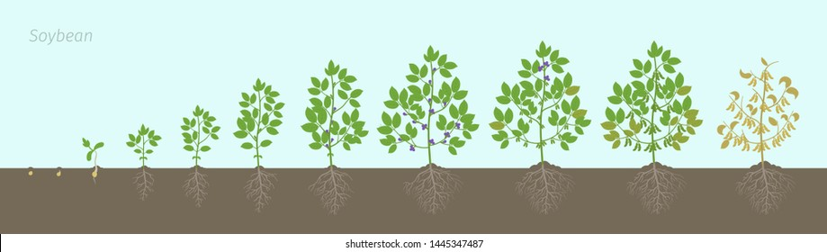 Growth stages of Soybean plant with roots In the soil. Soya bean phases set ripening period. Glycine max life cycle, animation progression.