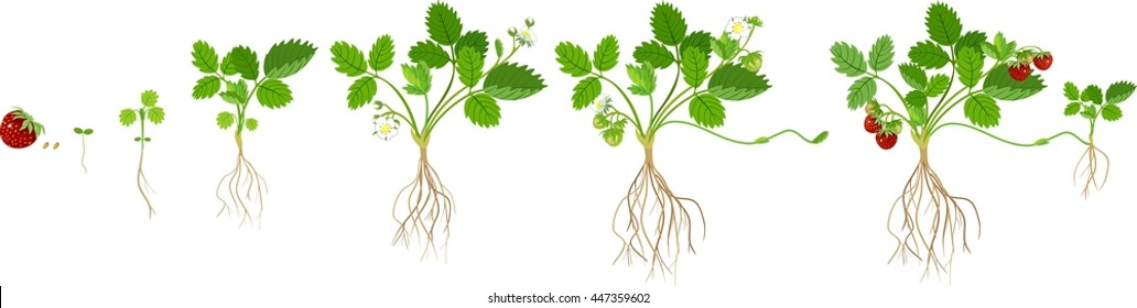 Growth stages of strawberry plant