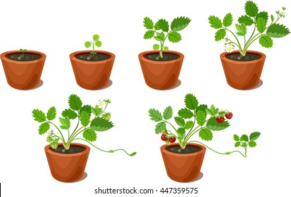 Growth stages of strawberry plant in flowerpots