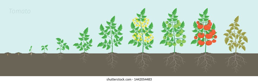 Growth stages of Tomato plant. Ripening period. Tomatoes bush harvest on the background of the soil. Root system. Animation progression.