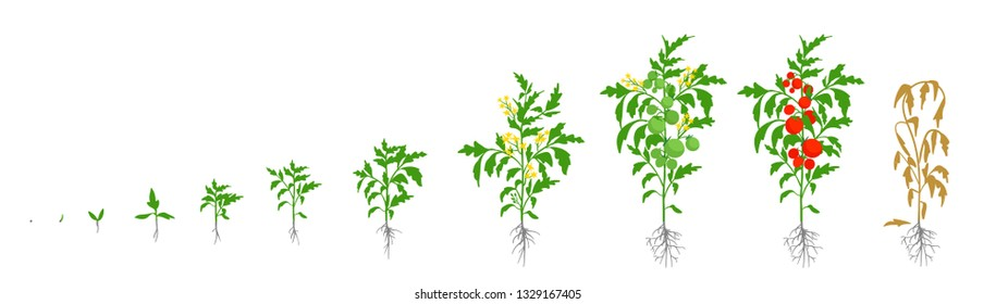 Growth stages of tomato plant. Vector illustration. Solanum lycopersicum. Ripening period. From sprout to bush with fruits. The life cycle of the tomatoes. Root system. Greenhouses and use fertilizers
