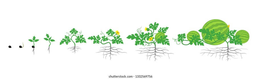 Growth stages of watermelon plant. Vector illustration. Citrullus lanatus. Watermelon life cycle. On white background.
