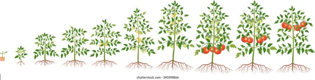 growth tomato plant