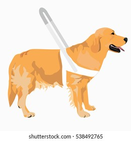 Guide dog wears a white harness with long handle. Golden Retriever with white harness isolated on white background.