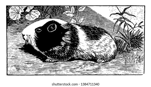 guinea pig is a species of rodent that is commonly found as a household pet,