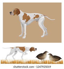 Gundog group. English pointer standard. Hunting dog pointing a covey of quail. Vector illustration isolated on white background