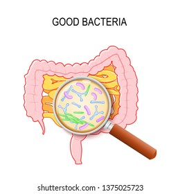 Gut flora. Human small intestine, colon and magnifying glass. Close-up of good bacteria: Lactobacillus, Bifidobacterium longum, Escherichia coli. Vector diagram for education, medical, biological use