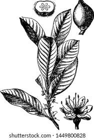 Gutta Percha vintage engraved illustration.