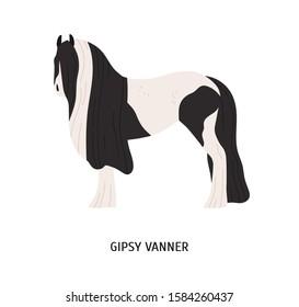 Gypsy vanner flat vector illustration. Pedigree equine, tinker breed, draft horse. Hoss breeding, equestrian sport concept. Irish workhorse, hoofed animal isolated on white background.