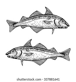 Haddock Illustration