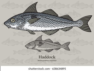 Haddock, Offshore Hake. Vector illustration with refined details and optimized stroke that allows the image to be used in small sizes (in packaging design, decoration, educational graphics, etc.)