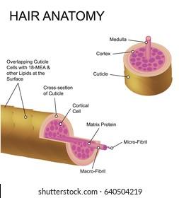 Hair anatomy.