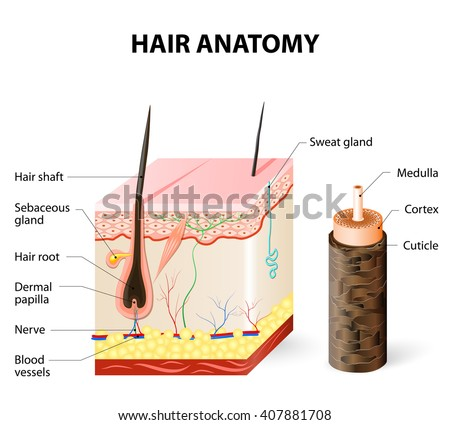 Hair Anatomy Stock Vector (Royalty Free) 407881708 - Shutterstock