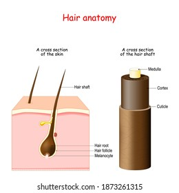 Hair anatomy. cross section of the skin with Melanocytes, Hair root, and shaft. Part of the hair shaft: Cuticle, Medulla, Cortex