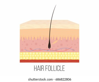 Hair follicle. Human skin layers with hair follicle inside. Vector
