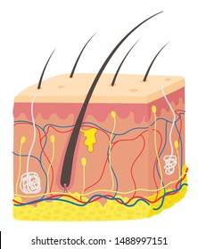 A hair follicle is a part of the skin