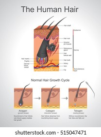 Hair follows a specific growth cycle with three distinct and concurrent phases ana-gen, catagen, and telogen phases. Each phase has specific characteristics that determine the length of the hair.