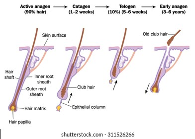 Hair growth cycle, showing active anagen phase, catagen, telogen and early anagen phases
