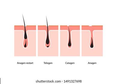 Hair growth cycle skin. vector illustration
